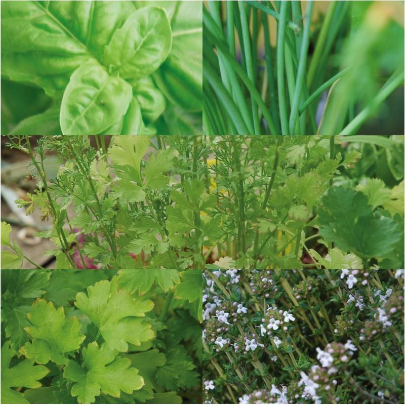 30 plantes aromatiques semer pour jardiner l 39 cole for Jardin plantes aromatiques