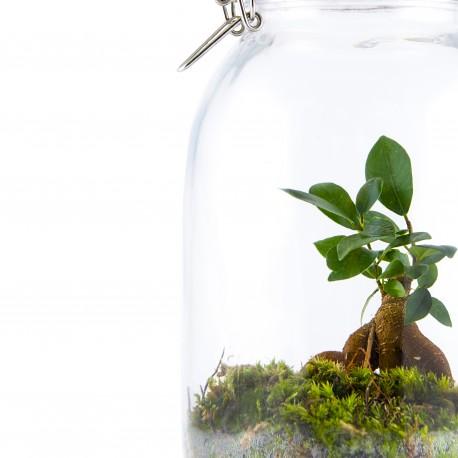 Terrarium Ficus bonsai avec mousse 5L