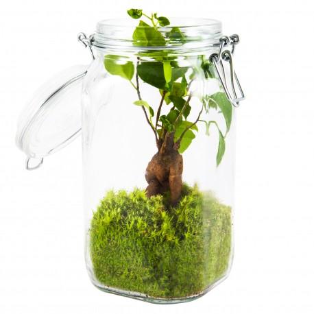 Terrarium 1,5L Ficus Ginseng