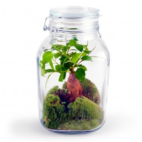 Terrarium Ficus bonsai avec mousse 3L