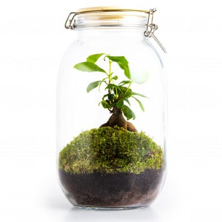 Terrarium Ficus Ginseng avec mousse 3L couvercle bois