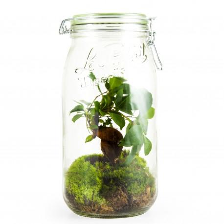 Terrarium Bocal Le Parfait Ficus bonsai 3L
