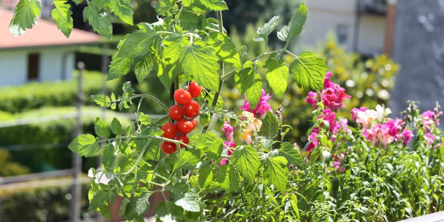 pot de tomates cerises
